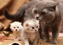 Разведение породистых кошек - прибыльная бизнес идея!