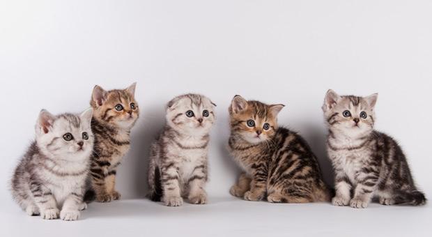 Породистые котята