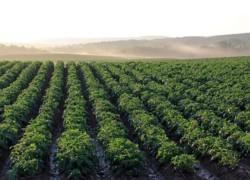 Выращивание картофеля: бизнес на пять с плюсом