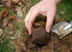 """Выращивание трюфелей: 6 шагов к созданию """"трюфельного леса"""""""