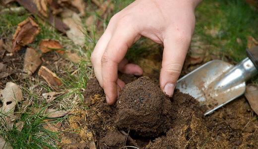 выращивание трюфелей